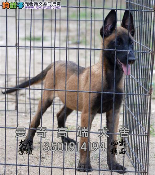 云南哪里有马犬纯种漂亮幼犬待售全国发货
