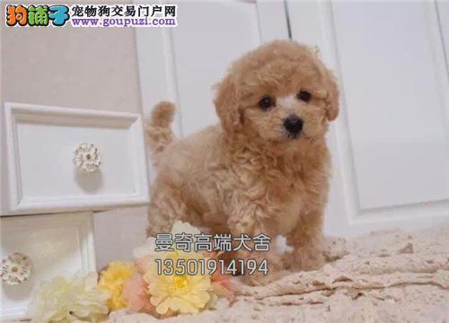 云南犬舍泰迪出售下单有礼送用品全国发货