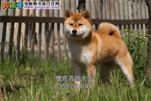湖北正规犬舍秋田健康小幼犬待售全国发货