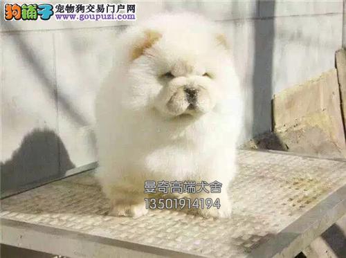 广东犬舍松狮健康好养奶油色全国发货
