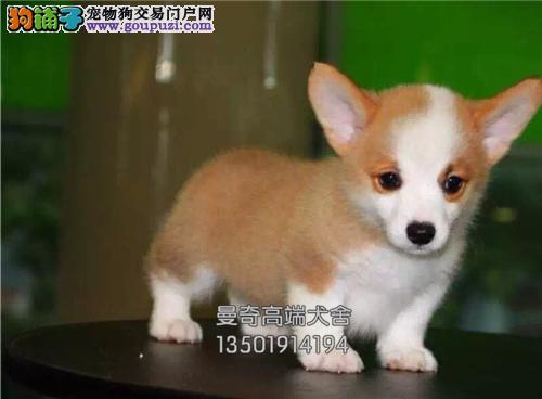 西藏出售柯基新生出售短腿犬全国发货