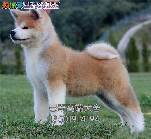 西藏正规犬舍秋田精品全国包运全国发货