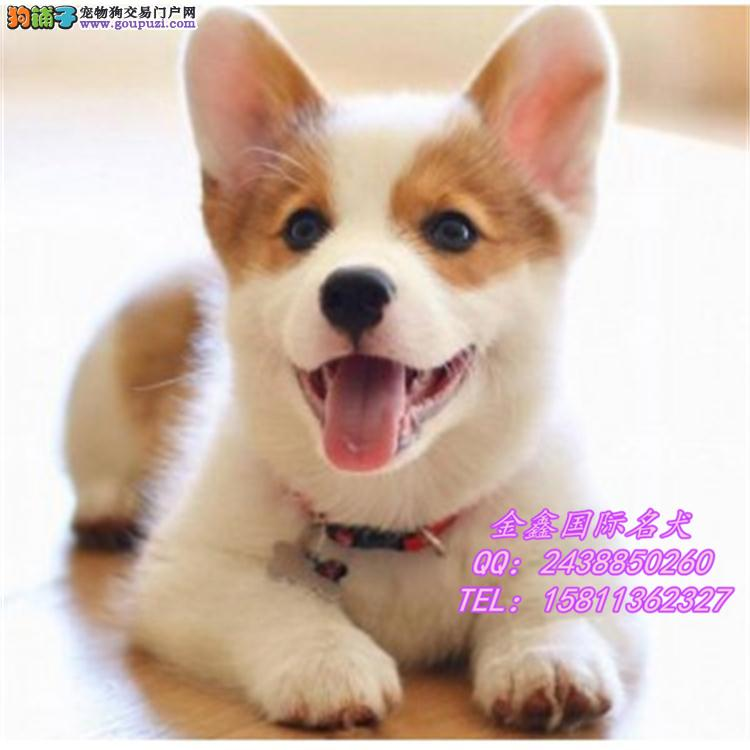 超萌小短腿赛级威尔士柯基幼犬出售 多只可选 签协议
