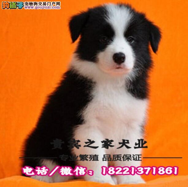 苏牧犬、视频看狗质量三包、签订协议、保纯保健康