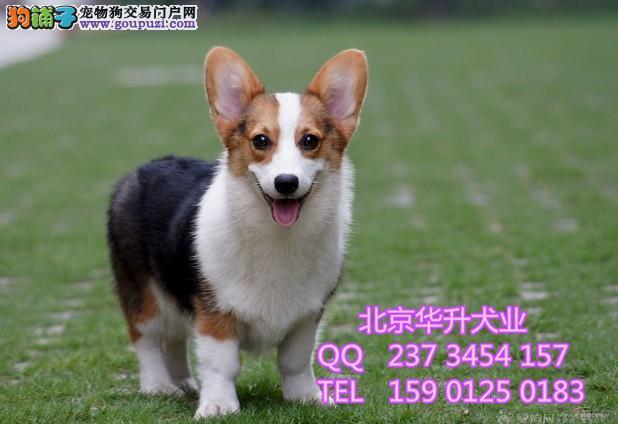 北京哪卖纯种柯基 三色柯基 两色柯基 北京华升犬业
