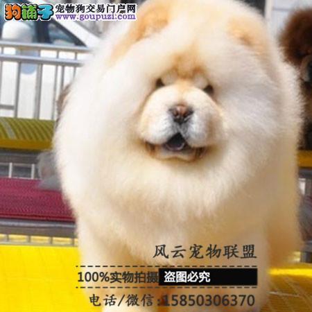 养殖场直销 松狮犬 品种齐全签订保障协议