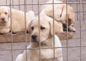 拉布拉多犬出售 疫苗齐全 可视频看狗 免费饲养指导