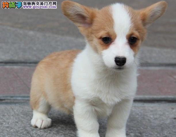 高品质柯基幼犬 品相超好 骨骼奇佳 随时上门看狗