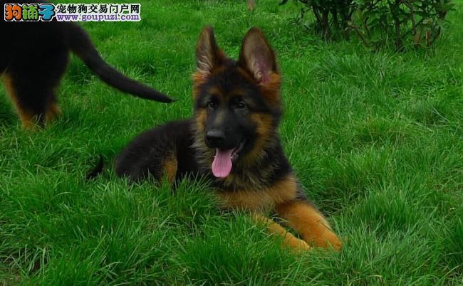 超级大头版锤系德国牧羊犬保纯种、保健康、签订协