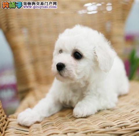 广州哪里有出售纯种比熊幼犬 广州比熊幼犬一只多少钱