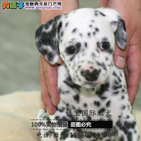 基地直销高品质斑点狗、保健康保纯种、签售后协议