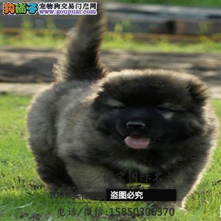 养殖场出售纯种德国牧羊犬包纯种包健康