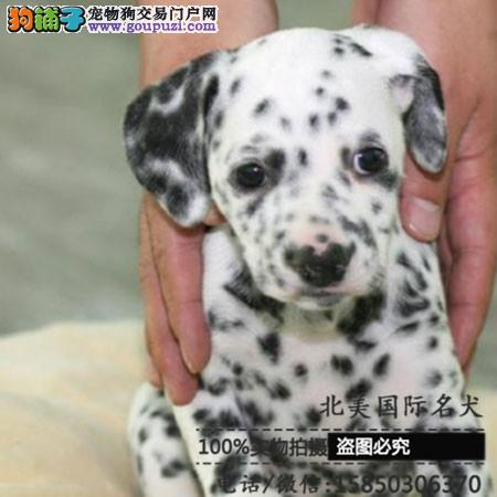 高品质斑点犬 基地直销 保纯种健康 欢迎实地挑选