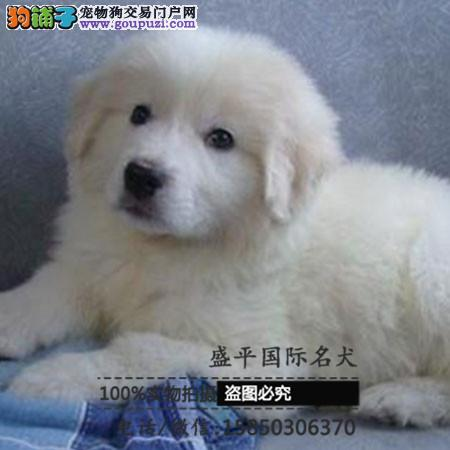 cku认证犬舍出售高品质大白熊 签协议证件齐全