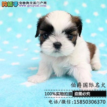 韩国引进种犬,赛级西施犬,三个月免费退换,三年包治