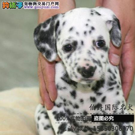正规养殖场出售高品质斑点幼犬多窝欢迎实地挑选包健康