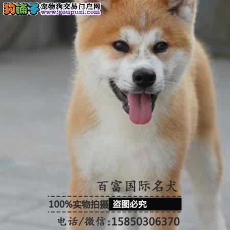 专业基地直销高品质秋田犬、保健康保纯种、签售后协议