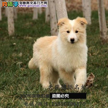 cku认证犬舍出售高品质边牧 签协议证件齐全