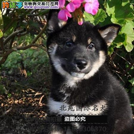 cku认证犬舍出售高品质 签协议证件齐全柴犬