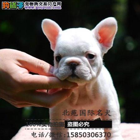 cku认证犬舍出售高品质 法国斗牛犬签协议证件齐全