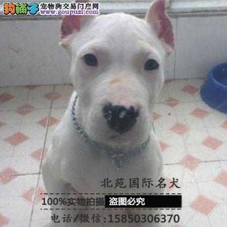 cku认证犬舍出售高品质 杜高签协议证件齐全