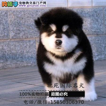 cku认证犬舍出售高品质 签协议证件齐全