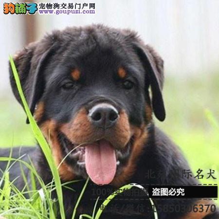 cku认证犬舍出售高品质 罗威纳签协议证件齐全