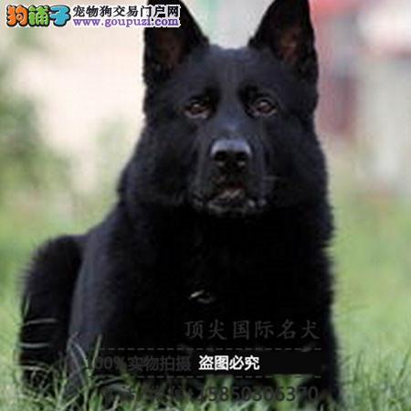 犬高品质德国牧羊犬带血统 终身质保 签订协议