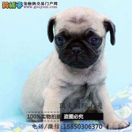犬舍出售高品质巴哥犬带血统 终身质保 签订协议可送货