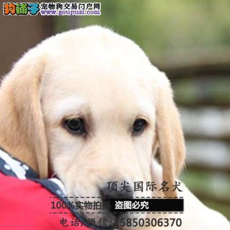 犬舍出售高品质拉布拉多带血统 终身质保 签订协议