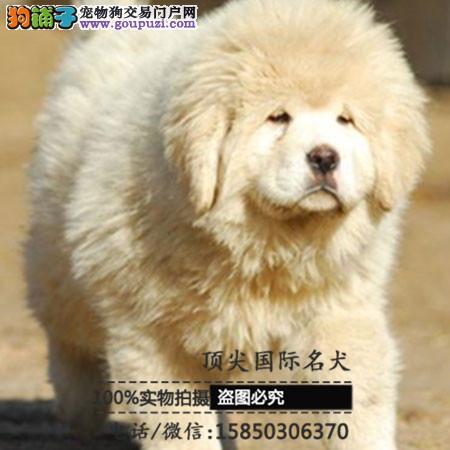 犬舍出售高品质藏獒带血统 终身质保 签订协议可送货