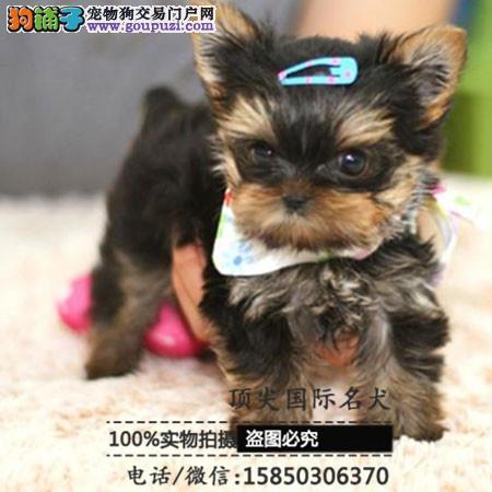 犬舍出售高品质约克夏带血统 终身质保 签订协议可送货