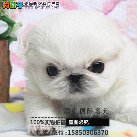 犬舍出售高品质京巴带血统 终身质保 签订协议可送货