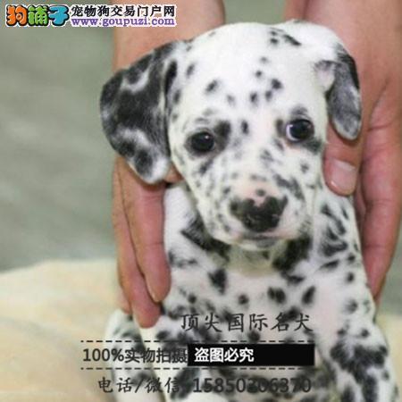 犬舍出售高品质斑点狗带血统 终身质保 签订协议可送货