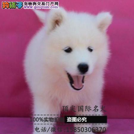 犬舍繁殖高品质b银狐犬 保纯种保健康