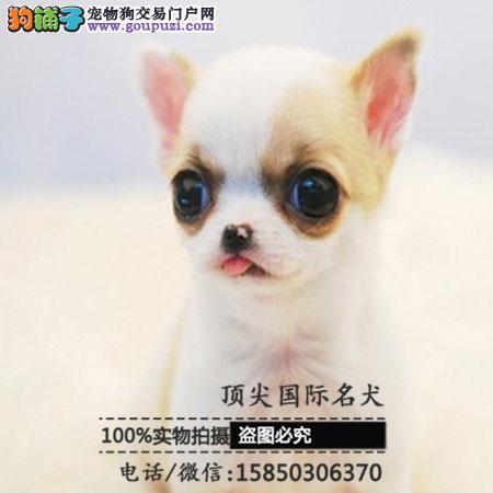犬舍出售高品质吉娃娃带血统 终身质保 签订协议可送货