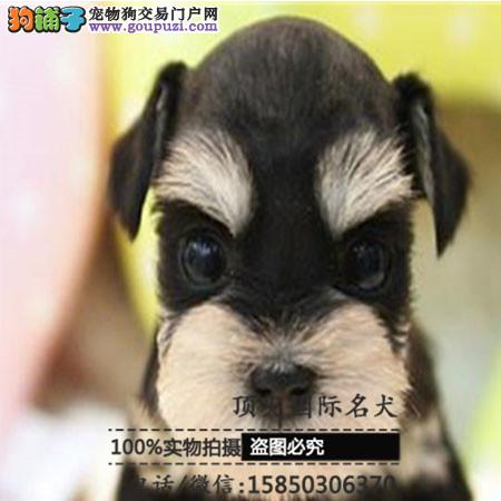 犬舍出售高品质雪纳瑞带血统 终身质保 签订协议可送货