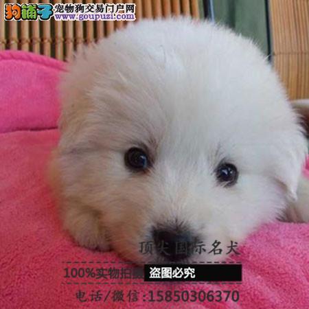 出售高品质大白熊带血统 终身质保 签订协议可送货
