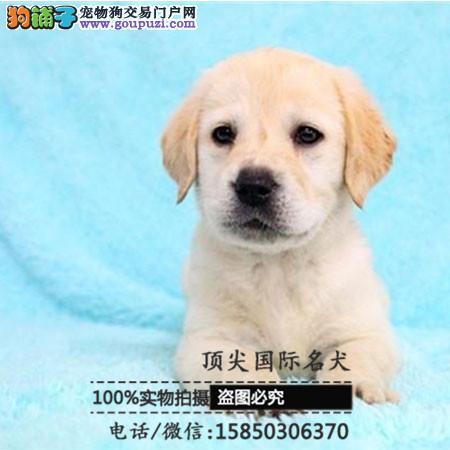 犬舍出售高品质哈士奇带血统 终身质保 签订协议可送货
