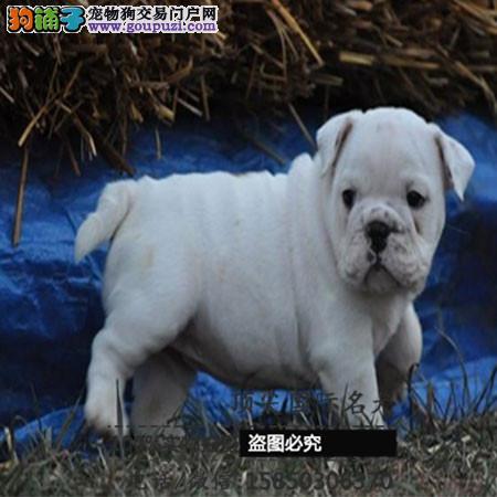 出售高品质法国斗牛犬带血统 终身质保 签订协议可送货