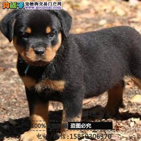 犬舍出售高品质罗威纳带血统 终身质保 签订协议可送货