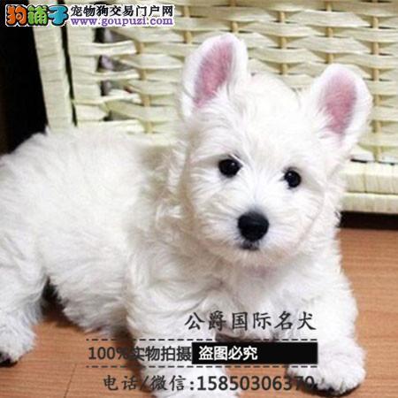 犬舍出售高品西高地带血统 终身质保 签订协议可送货