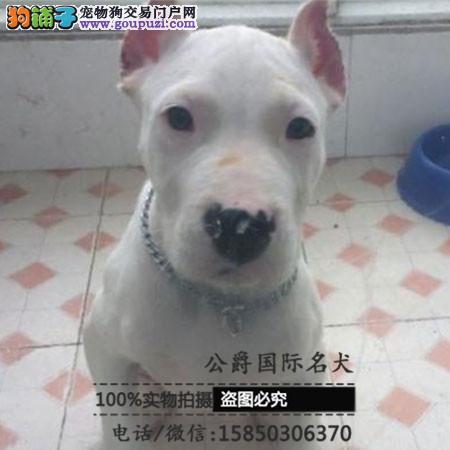犬舍出售高品质杜高犬带血统 终身质保 签订协议可送货