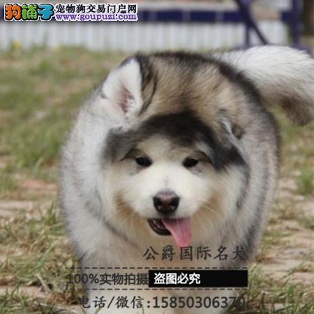 犬舍出售高品质阿拉带血统 终身质保 签订协议可送货