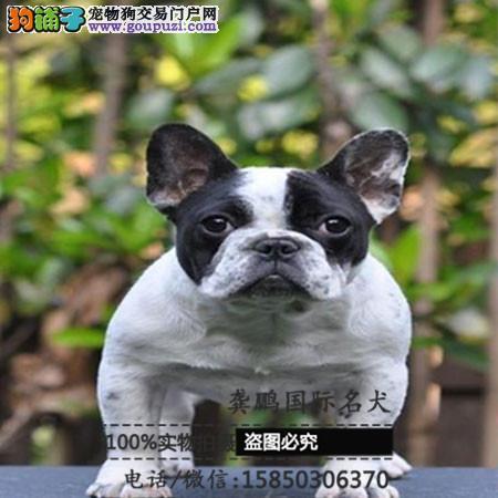 纯种恶霸犬 保证血统纯种健康 顶级美国恶霸犬