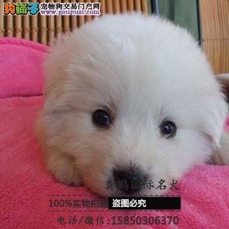 上海本地犬场一出售大骨架大白熊幼犬一包养活一签协议