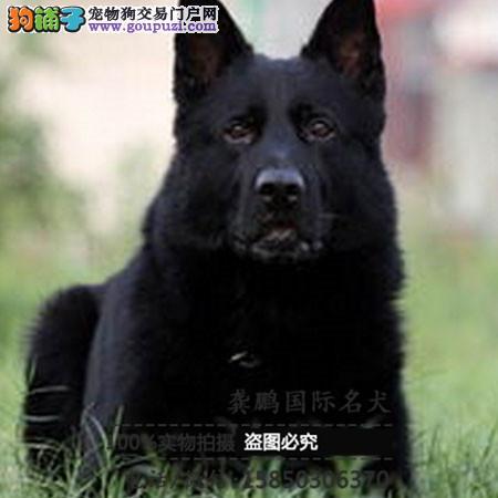 出售狼狗犬 高品质德国牧羊犬出售 齐嘴头锤系包纯种