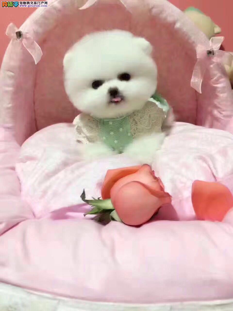 出售萌系博美 哈多利球体博美犬 健康纯种质保