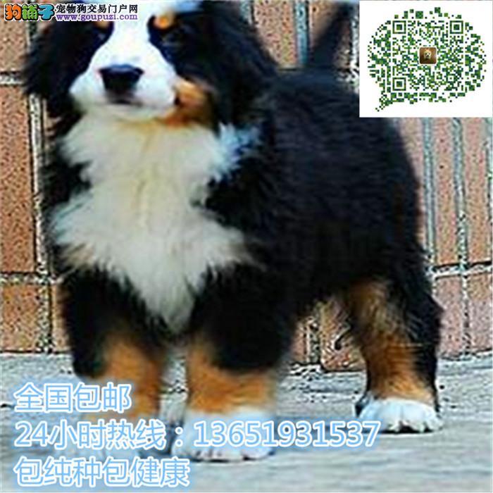 精品伯恩山犬,支持上门看狗狗,包健康纯种包养活