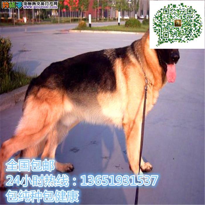 精品的德牧犬,支持上门看狗狗,包健康纯种包养活